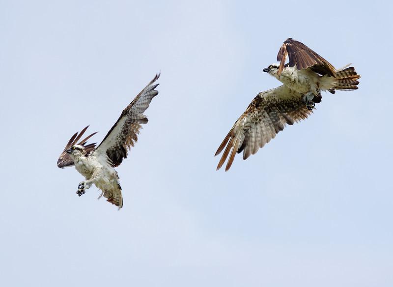 Osprey in-flight sequence Little Estero Lagoon Ft. Myers Beach, FL