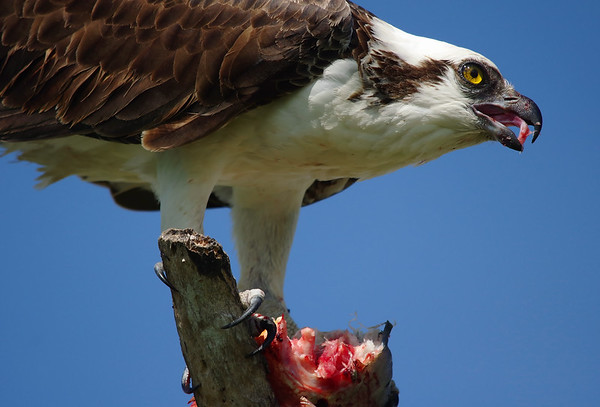 osprey with lunch.