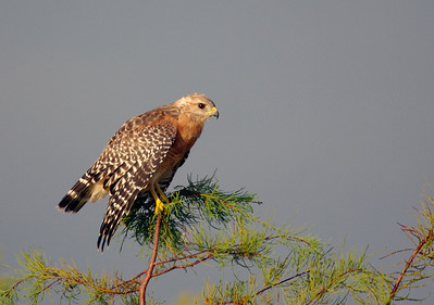 Red Shouldered Hawk, Big Cypress National Reserve, Everglades National Park, FL