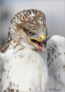 Ferruginous  Hawk, one of the largest hawks in the USA. I might add, one of the lightest in color.