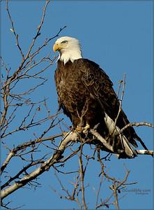 Irvine Bald Eagle