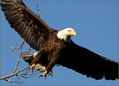 Bald eagle in irvine