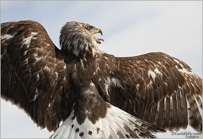 The back of the Ferruginous Hawk. Beautiful raptor. Rarer than Bald Eagles, and larger than any other hawk in the USA.