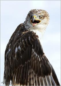Beautiful Ferruginous Hawk