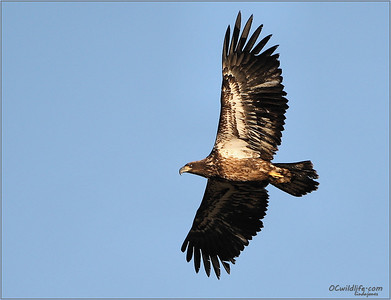 Juvenile bald eagle, irvine, california, observed twice following nearby to the adult BE. By next year he should be mottled pretty well all over and the face will start to change in color.