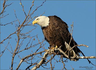 Bald Eagle passing through  Irvine Regional Park
