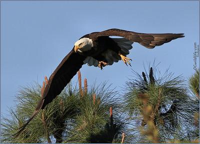 Bald Eagle in Irvine, January, 2011