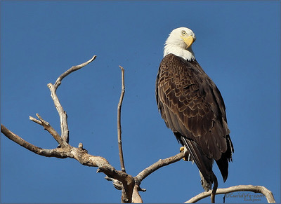 I believe this eagle is  not extrmely shy because he is used to the boaters at Irvine lake.