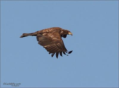 Juvenile 2nd year Bald Eagle, Irvine.