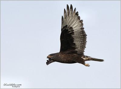 Very unusual Dark Morph Ferruginous Hawk