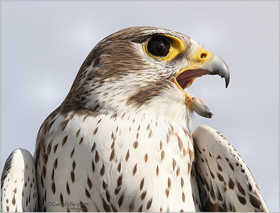 A close up of their beak, shaped like a bottle opener. Beautiful Prairie falcon, slightly smaller than the Peregrine falcon.