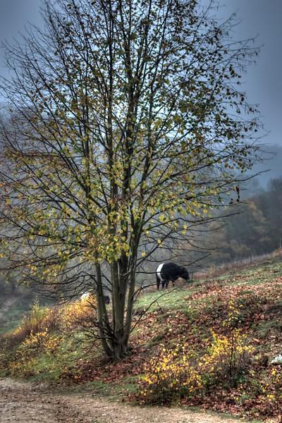 Headley Heath cows rambling
