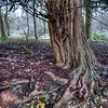 Old tree Headley Heath