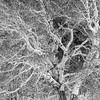White Poplar