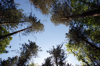 Looking up in Sulham Woods.