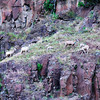 Another mountain sheep family on steep pinnacle