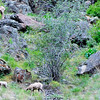 Mountain sheep grazing. Note lamb standing on outcrop below its mother on higher outcrop and another lamb is resting on his rock to the right.  Suggest look at larger sizes