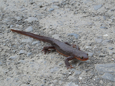 I was walking with a group called Adventure Club slo, down Santa Rita Rd. during  mid Spring , when I came across this CA Newt crossing the road.