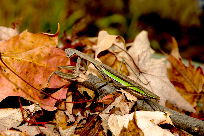 Female Prying Mantis - all the males are eaten in the Fall by their wives
