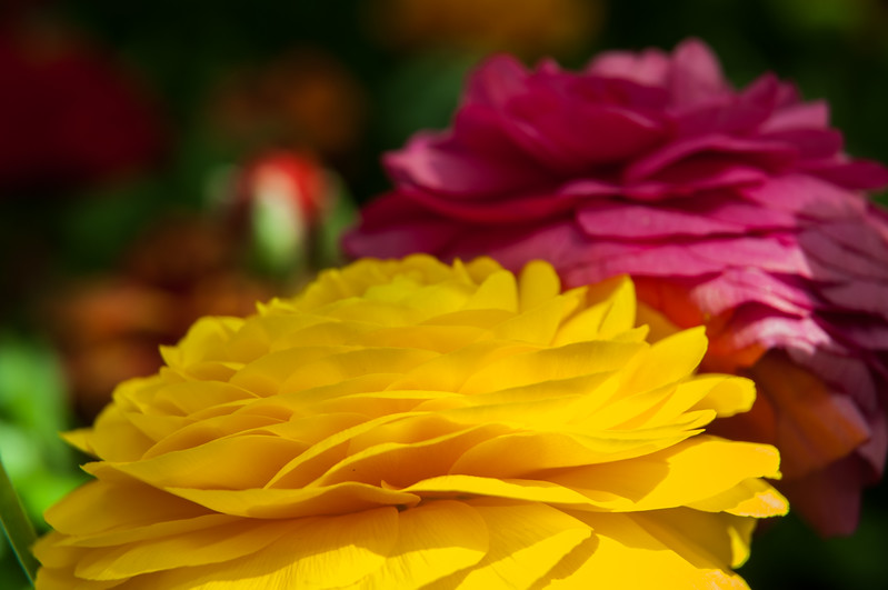 Flowers,Yellow,Red,Gardens