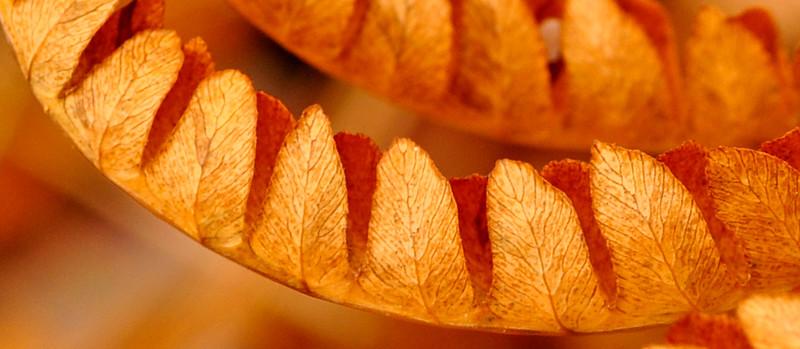 Fern in Fall
