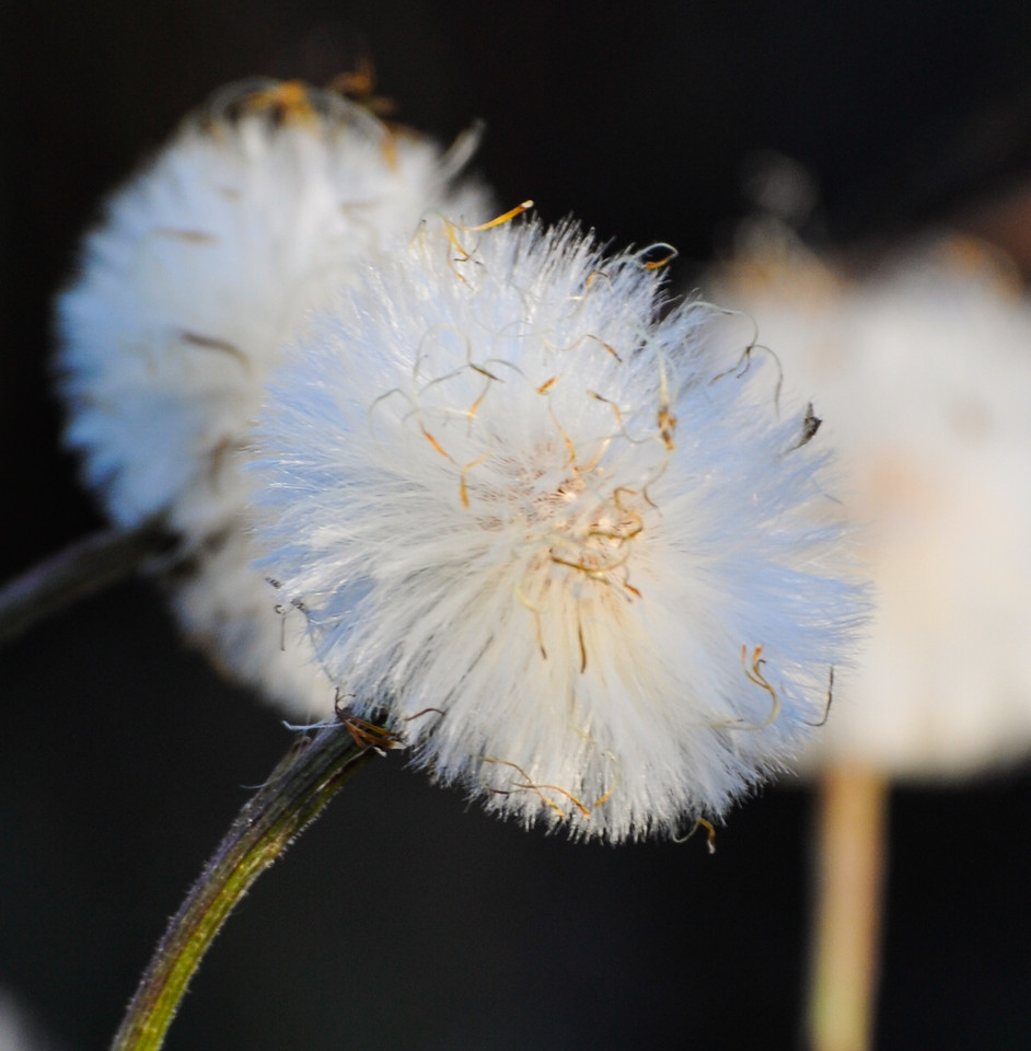 Colt's Foot Seed