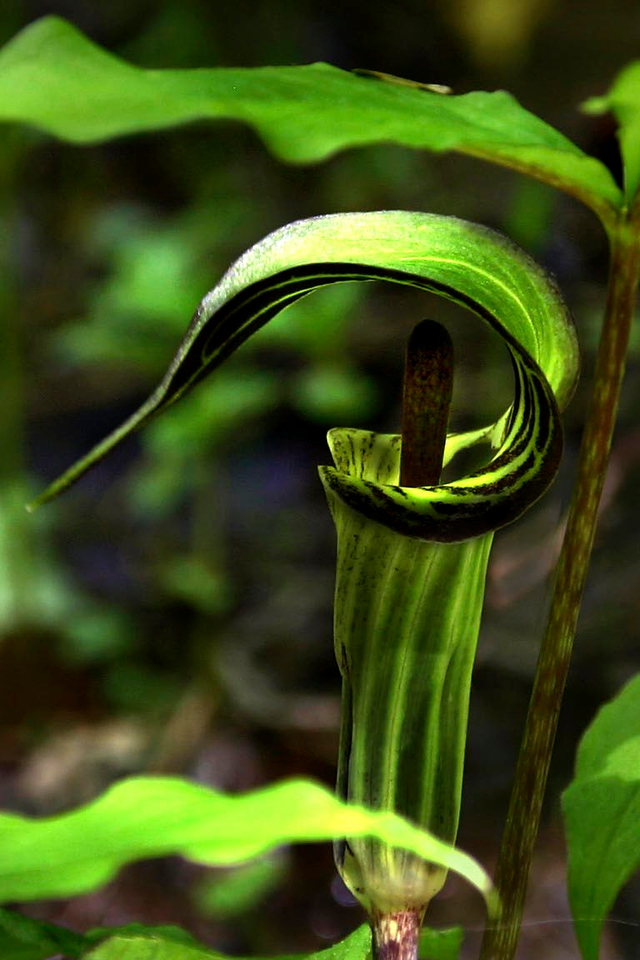 Jack in the Pulpit - Orchid