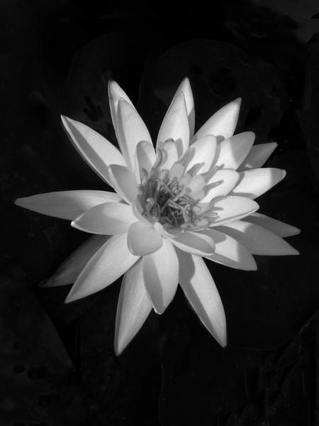 Lotus Flower,