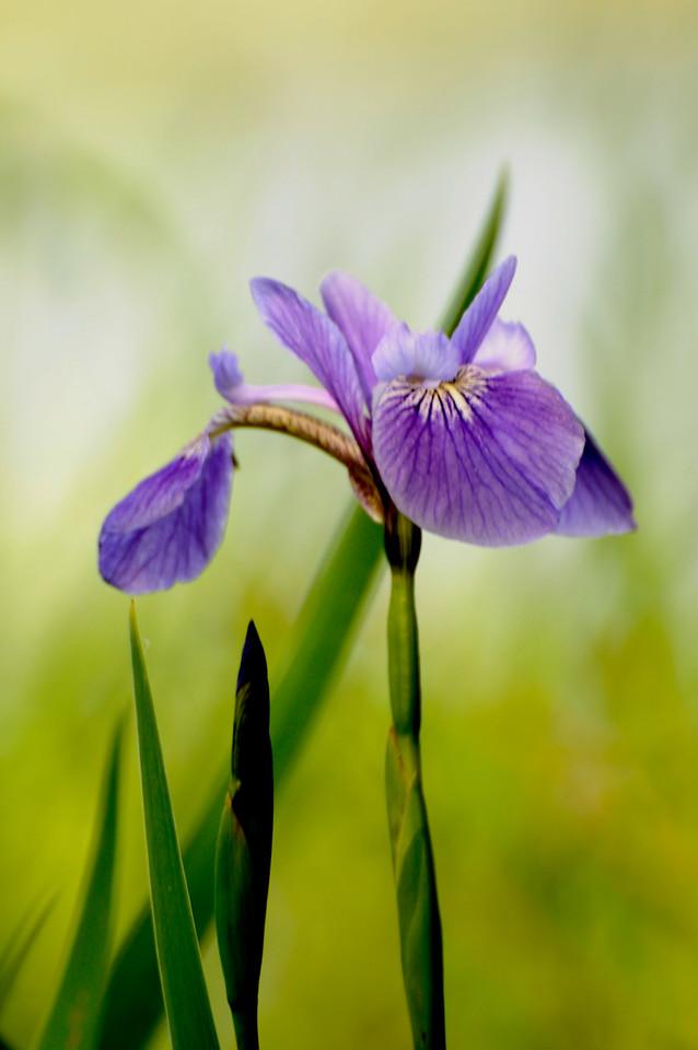 Flag Iris -