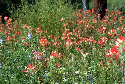 Texas Paintbrush (red/white), Lazy Daisy (white petals/yellow center),