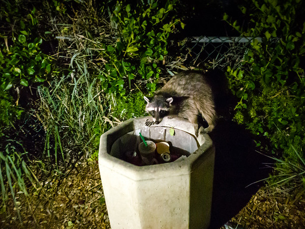 Now I see why they are called trash pandas