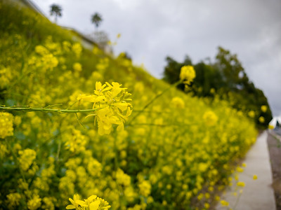 Since the Portuguese Bend Nature Preserve (and the trails I love to run upon) is now closed due to COVID-19, these wildflowers on the hillside along Hawthorne Blvd will be probably be the extent of the bloom we'll get to enjoy this year #SocialDistancing #RunningDuringThePandemic #SaferAtHome #LookAtTheFlowersLizzie
