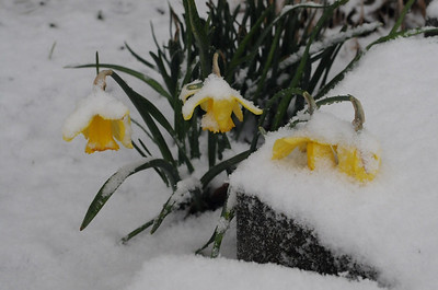 The poor buttercups were not happy to see the snow.