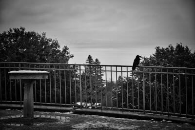 Corbeau sur Léman