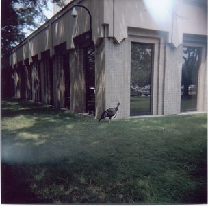 Mr. Gobbles, the famous wild turkey who makes his residence at the Volpe Center in Cambridge.