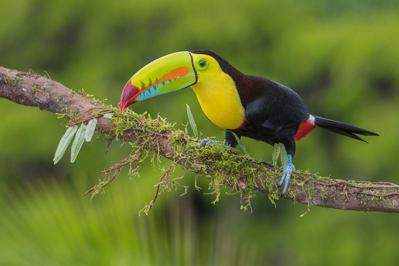 Keel-Billed Toucan,, La Laguna de Lagarta, Costa Rica