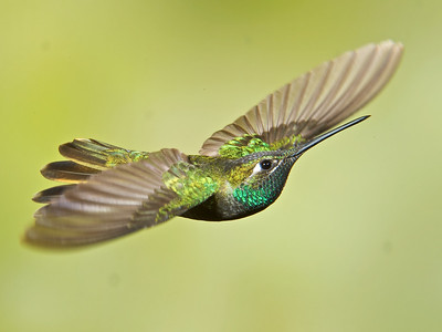 Magnificint Hummingbird (Male)