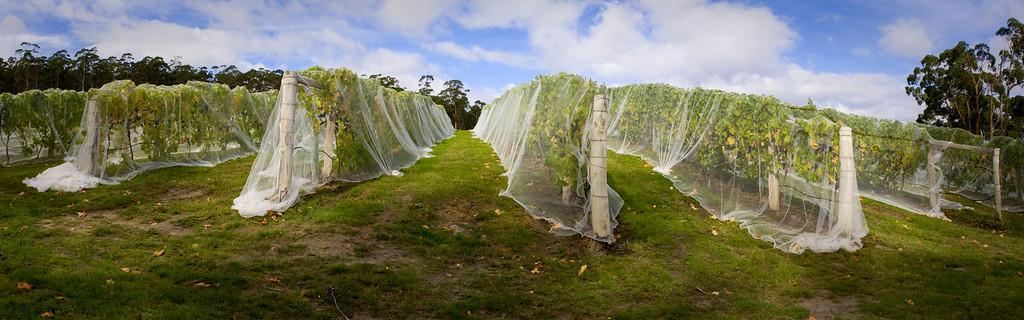 20080403-vinyard pan 4-3-08