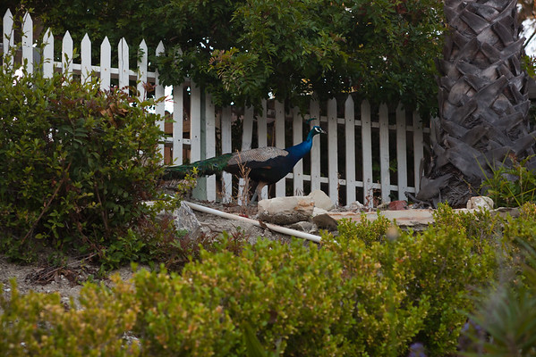 Apparently this peacock was in our neighbor's backyard before crossing ours
