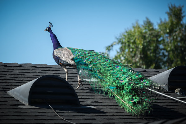 Once again, I miss a chance to snap a shot of a peacock in flight.  He flies over the pool, lands on the roof over our dining room, and proceeds over the living room before disappearing on the solar panel side.  I am too slow to catch any shots of him flying / jumping down and crossing the street