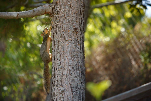 As powerline survey helicopters circle overhead, a squirrel runs up the neighbor's tree...