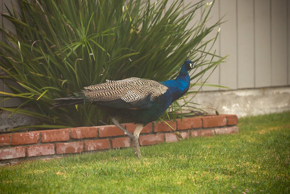 We had a peacock in our backyard Memorial Day Weekend