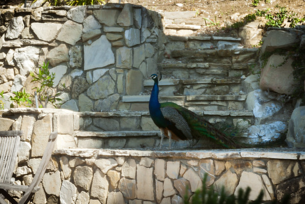 After weeks of spotting a peahen (or peahens?) in our neighborhood, I finally see a peacock in our backyard