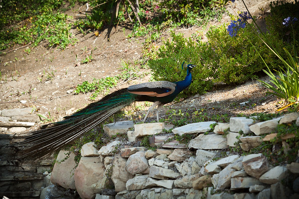 The peacock starts climbing the hill as soon as I step outside