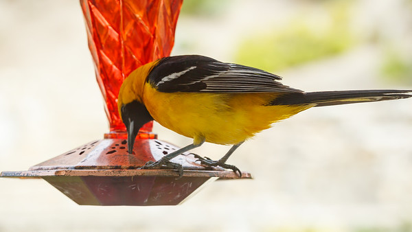 Aren't you too big to be drinking from our feeder?  #NotAHummingbird #Freeloader  (Apparently this is a Hooded Oriole)