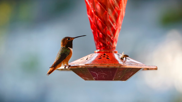 The strange thing is that we have NEVER seen bees drink froom our hummingbird feeder before