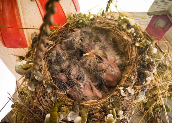 They're getting bigger...and their nest is getting nastier.  Yes, that's poop decorating the edge.