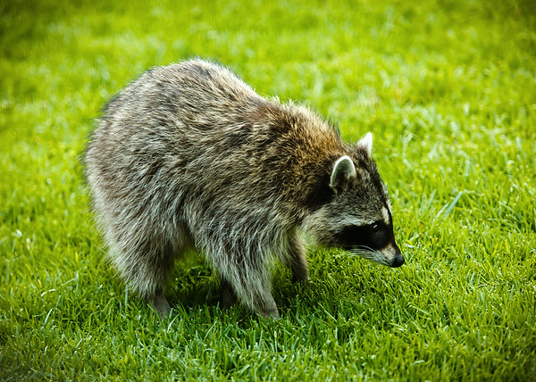 We really wouldn't mind if raccoons visit our yard from time to time...