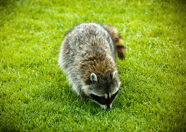 MAY - Mystery solved! On the same day I see the meme about raccoons being the animal of the coronavirus (because they wear masks and wash their hands), we have one poop in our yard.  Not a coyote... #MotherKnows #EverybodyPoops #Nature #SaferAtHome