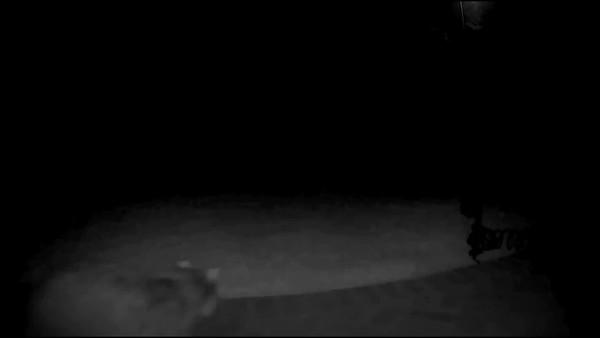 Raccoon Passes